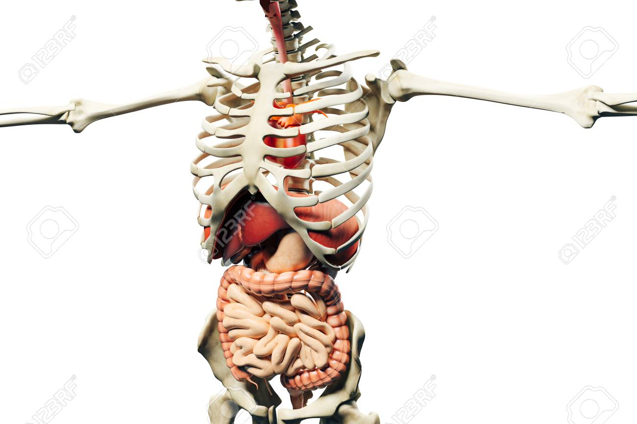 3d Man Render Anatomy Showing Skeleton Muscular System And