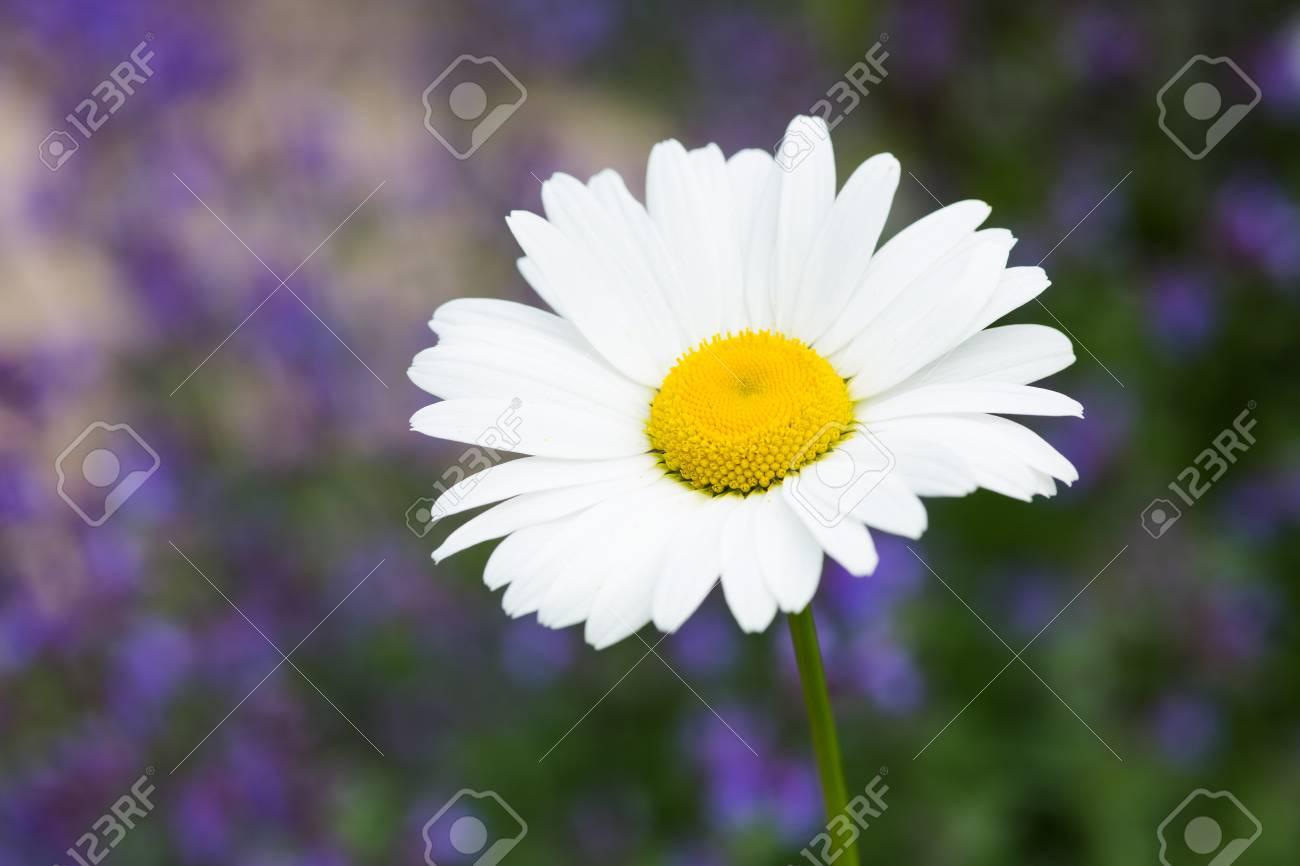 Beautiful daisy flower stock photo picture and royalty free image beautiful daisy flower stock photo 19849058 izmirmasajfo Choice Image