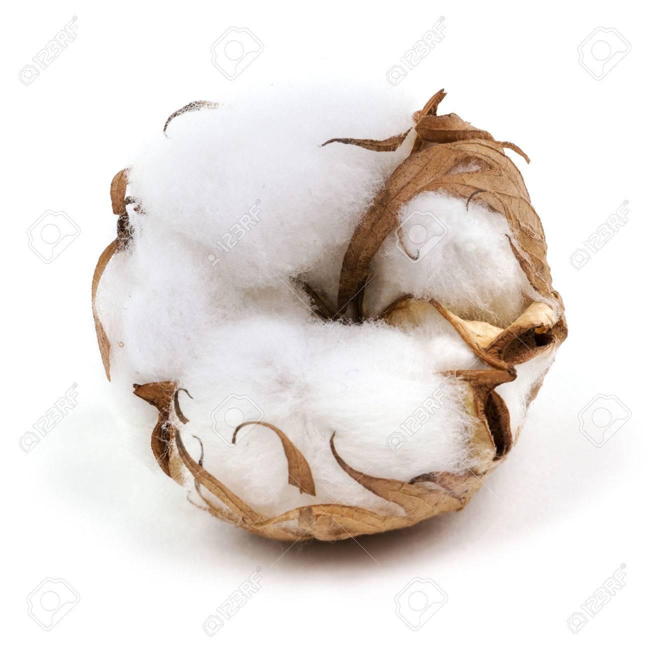 Cotton Plant - 34798090