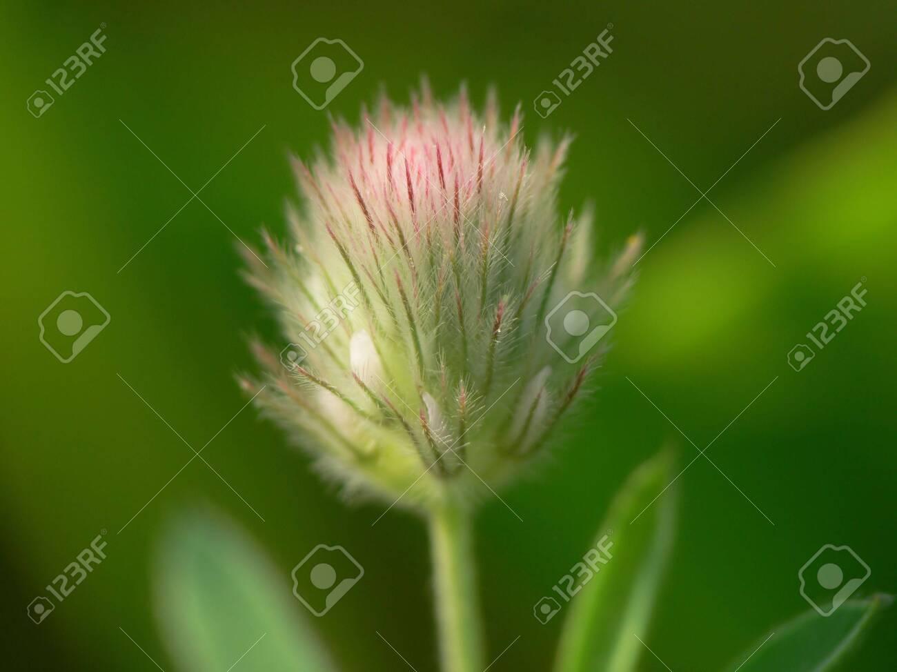 Sanguisorba inflorescence macro Stock Photo - 3472125