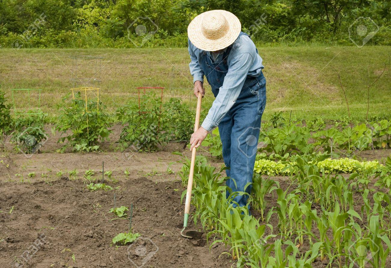 man using a hoe to weed his large garden Stock Photo - 7367287