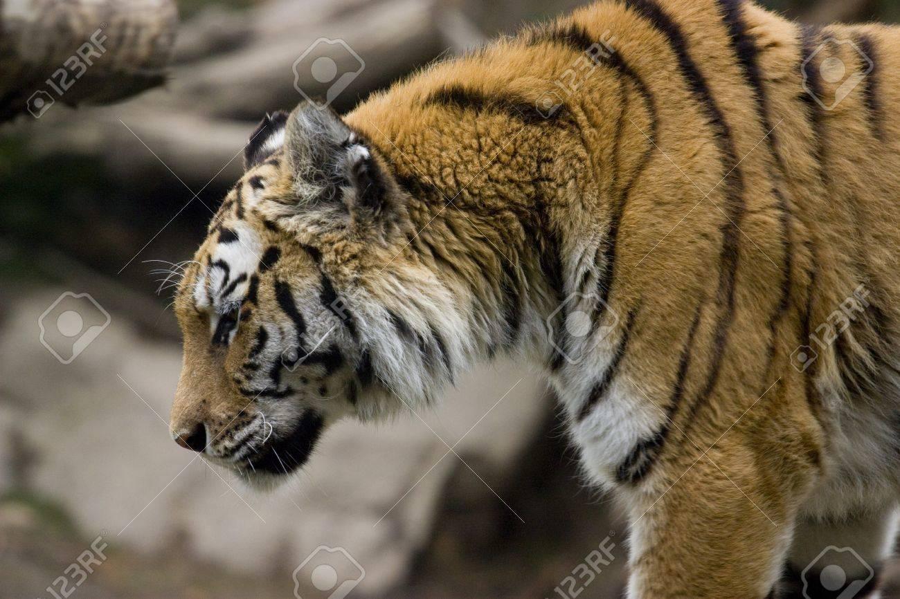 Close up photo of a big wild tiger Stock Photo - 7534034
