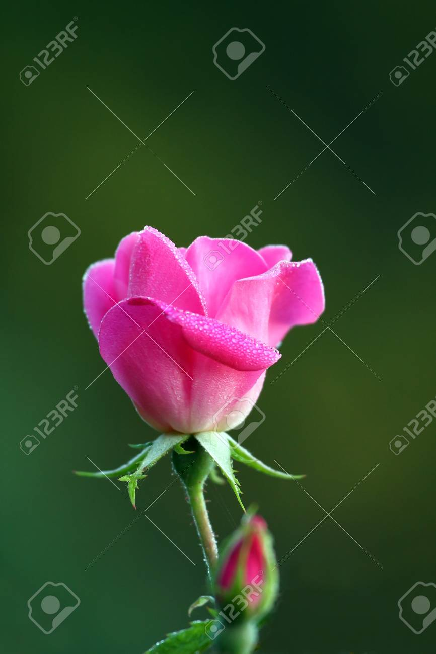 A beautiful rose in the morning dew Stock Photo - 8245585