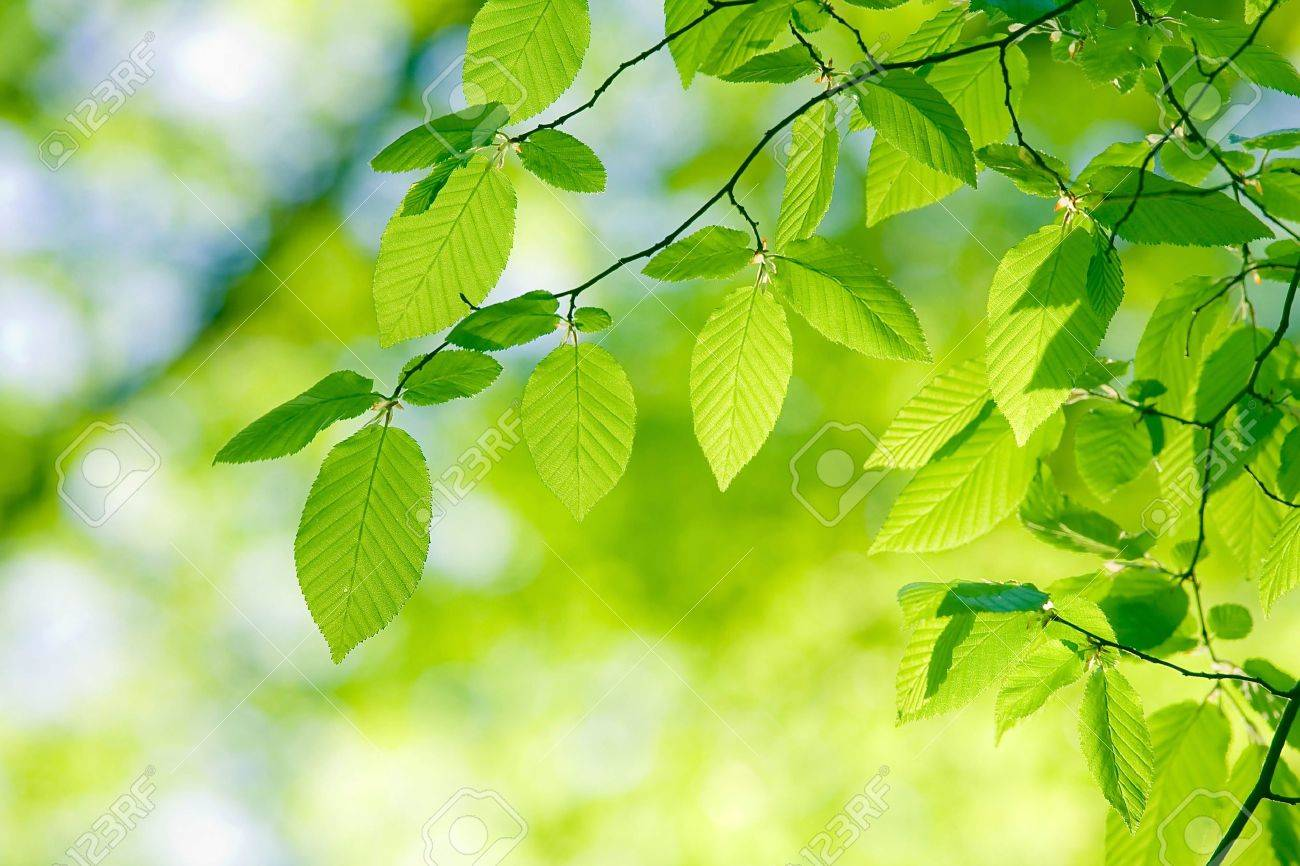 Beautiful, harmonious forest detail, with hornbeam leaves Stock Photo - 8392527