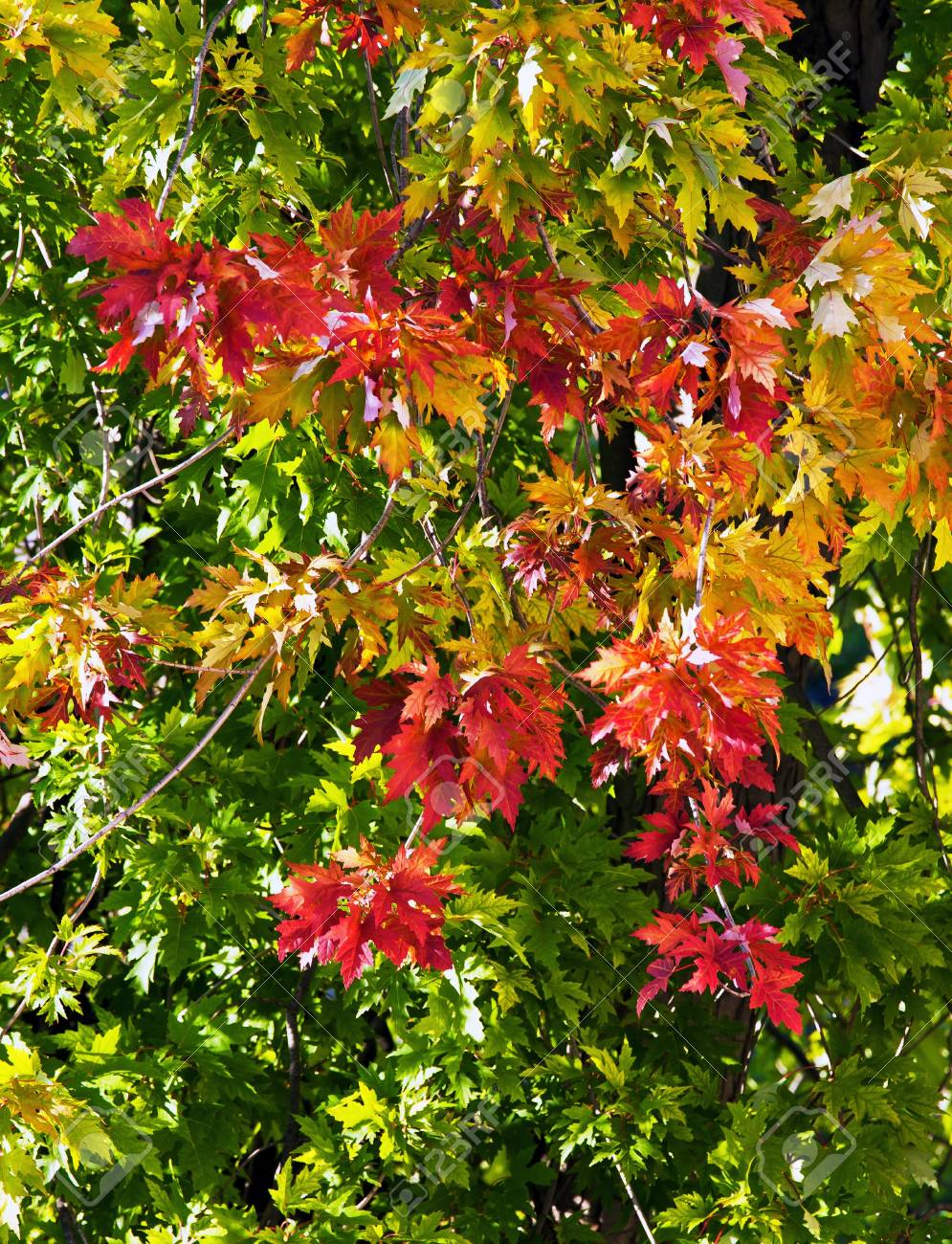 Beautifuel Colorful autumn maple leaves Stock Photo - 8685727