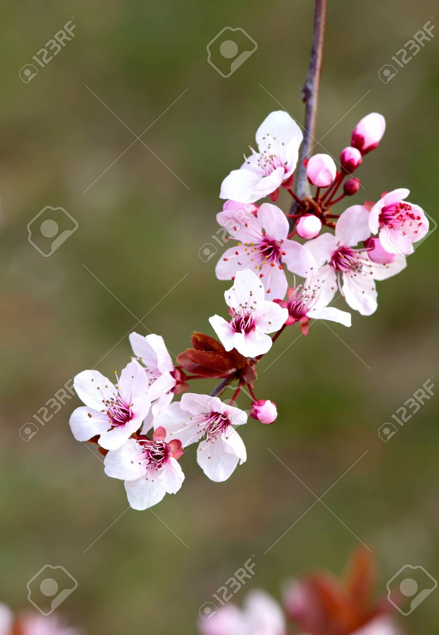 Beautiful Prunus Flowers In Spring Stock Photo Picture And