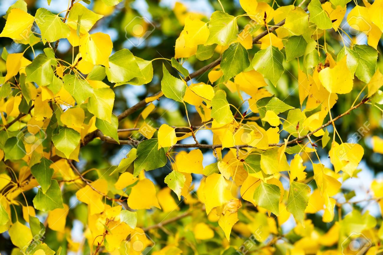Beautiful poplar leaves in springtime Stock Photo - 15940087