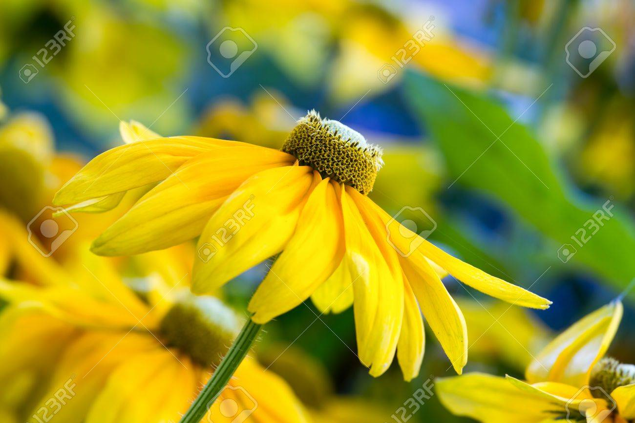 Pretty Yellow Spring Flowers In The Garden Stock Photo Picture And