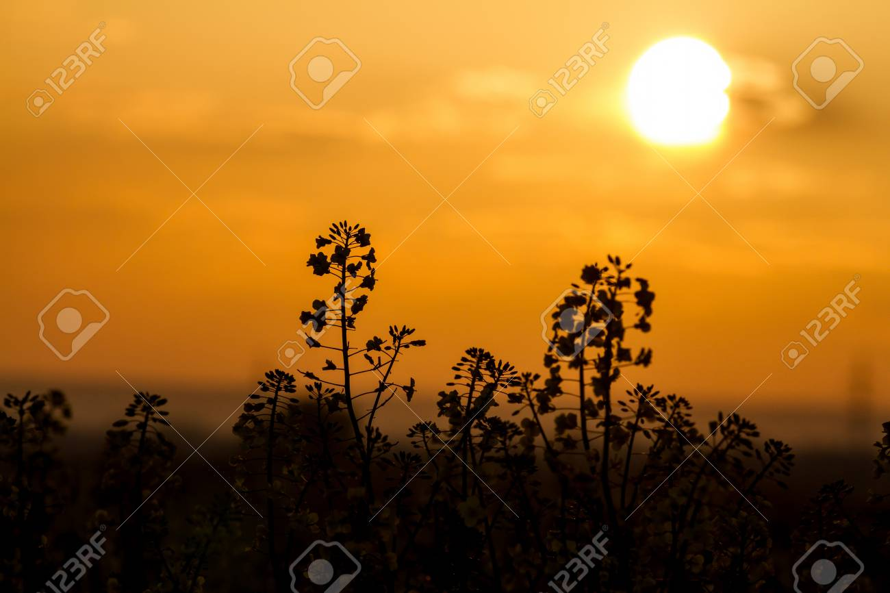 Colza in the sunset light Stock Photo - 22927706