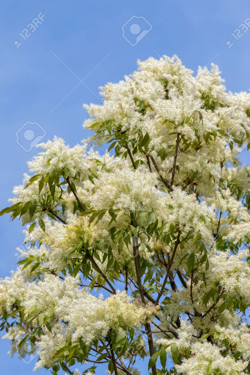 Ash Tree Flowers In Spring Fraxinus Excelsior Stock Photo Picture
