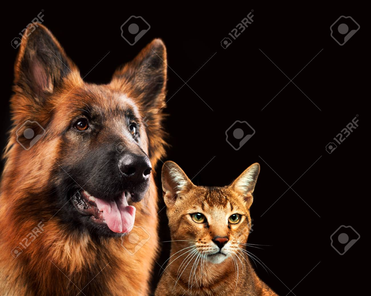 Cat And Dog Together, Chausie Kitten, Abyssinian Cat, German ...