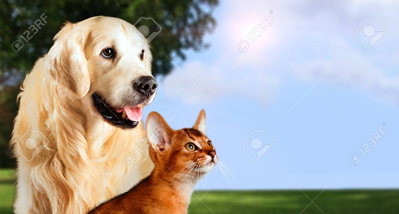 Cat and dog, abyssinian cat, golden retriever together on peaceful nature background. - 87985150