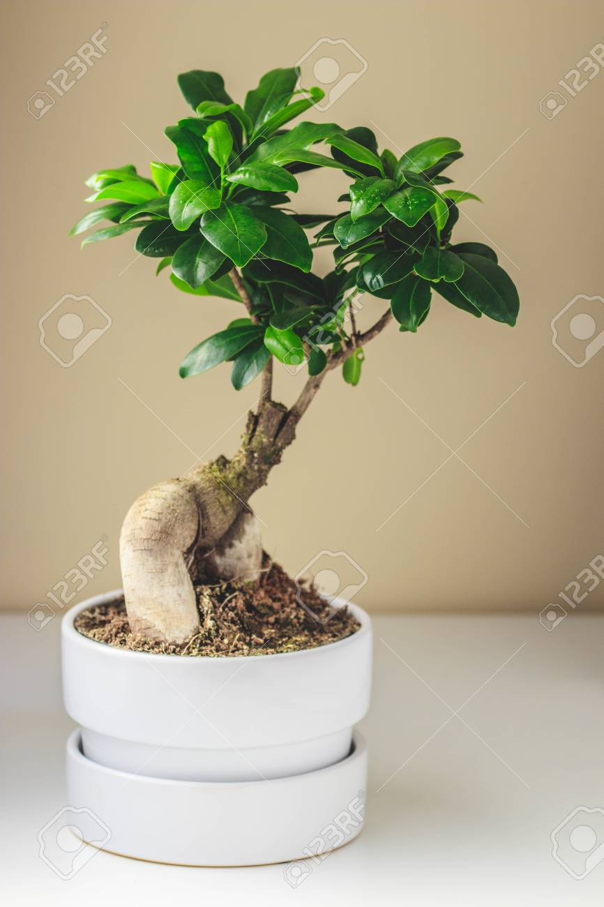 Ficus Microcarpa Ginseng In A White Pot Stylish And Simple Plants For Modern Desk