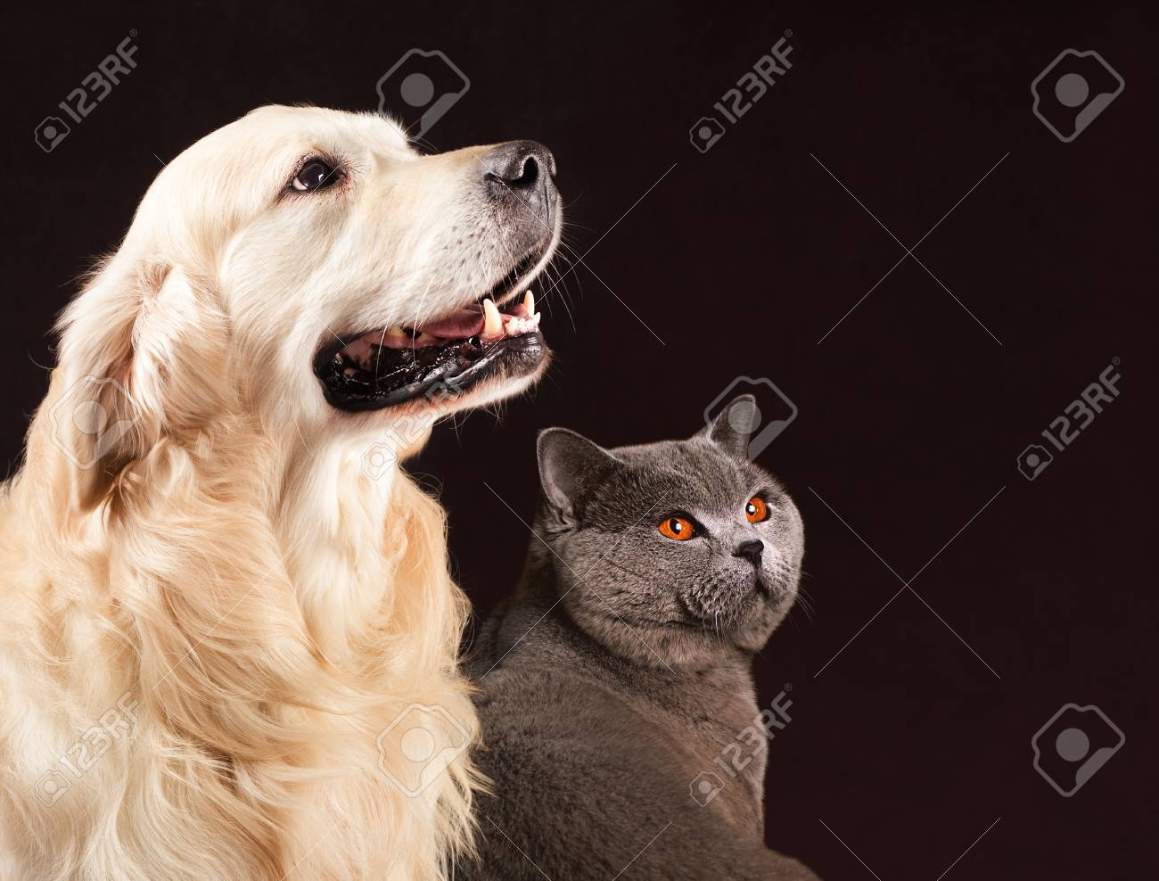 Cat and dog, British Shorthair and golden retriever looks at