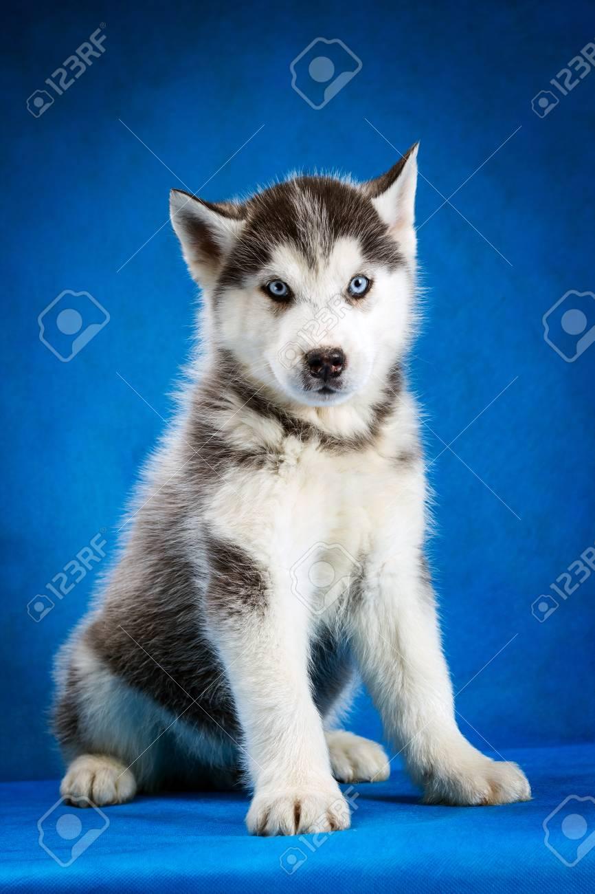Siberian Husky Puppy With Blue Eyes Sitting On Blue Background Fotos Retratos Imagenes Y Fotografia De Archivo Libres De Derecho Image 101356935