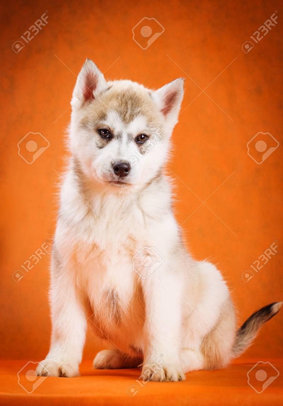 Siberian Husky Puppy Sitting On Orange Background Stock Photo