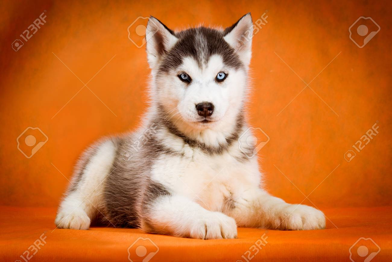 Siberian Husky Puppy With Blue Eyes Lying Orange Background Stock