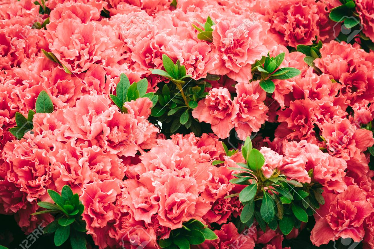 Beautiful Carpet Of Pink Blooming Flowers Texture For Wallpaper