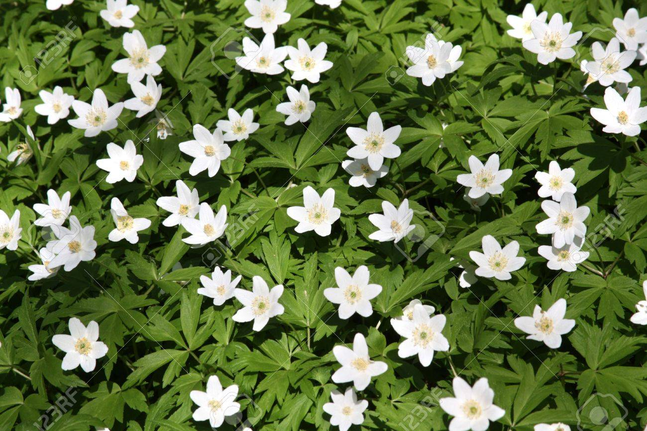 Big patch of wood anemone wild spring flowers stock photo picture big patch of wood anemone wild spring flowers stock photo 4847197 mightylinksfo Images