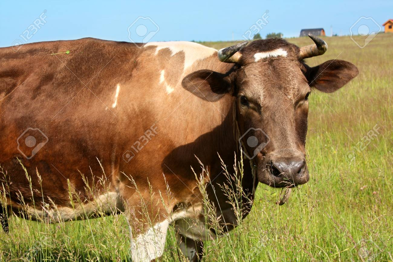 Grazing cow at the meadow Stock Photo - 5210113