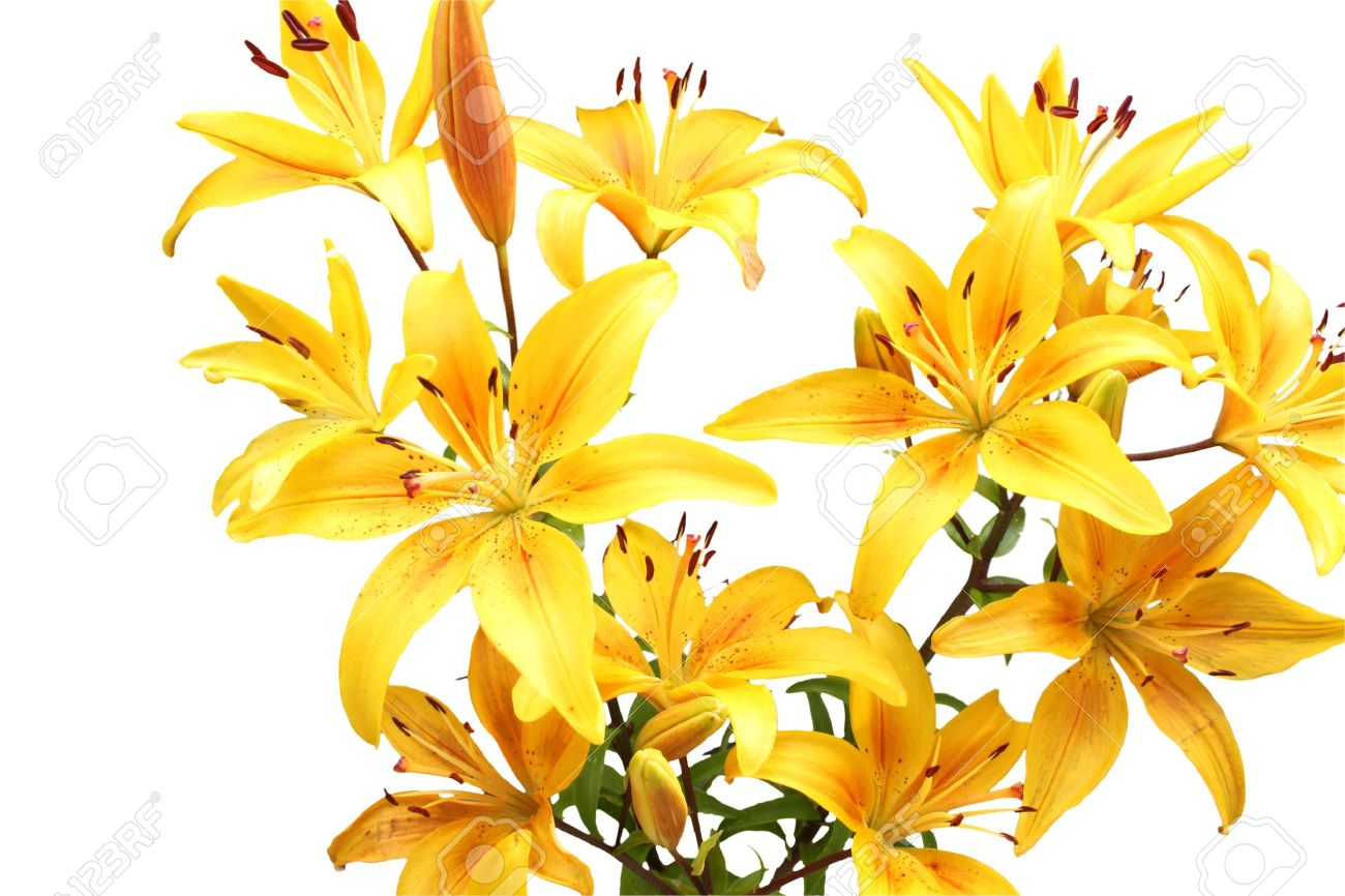 Yellow flowers stock photos pictures royalty free yellow yellow flowers bouquet of yellow lilies isolated on white dhlflorist Gallery