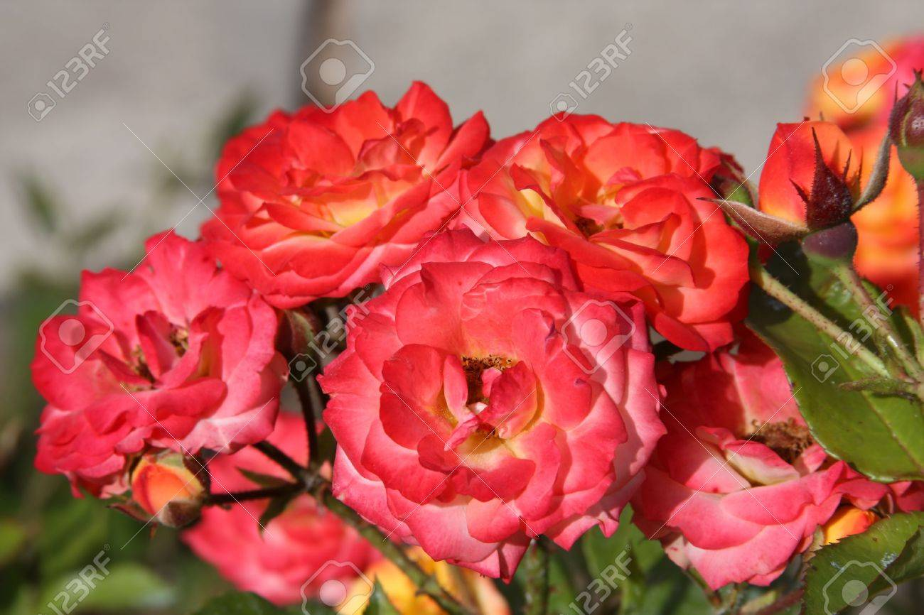 Different Shades Of Red blooming roses of different shades of red, crimson, yellow and