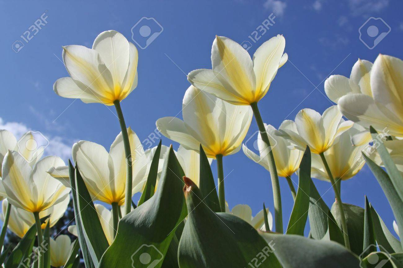 Spring flowers - white tulips on the background of sky. Purissima variety - 6344898