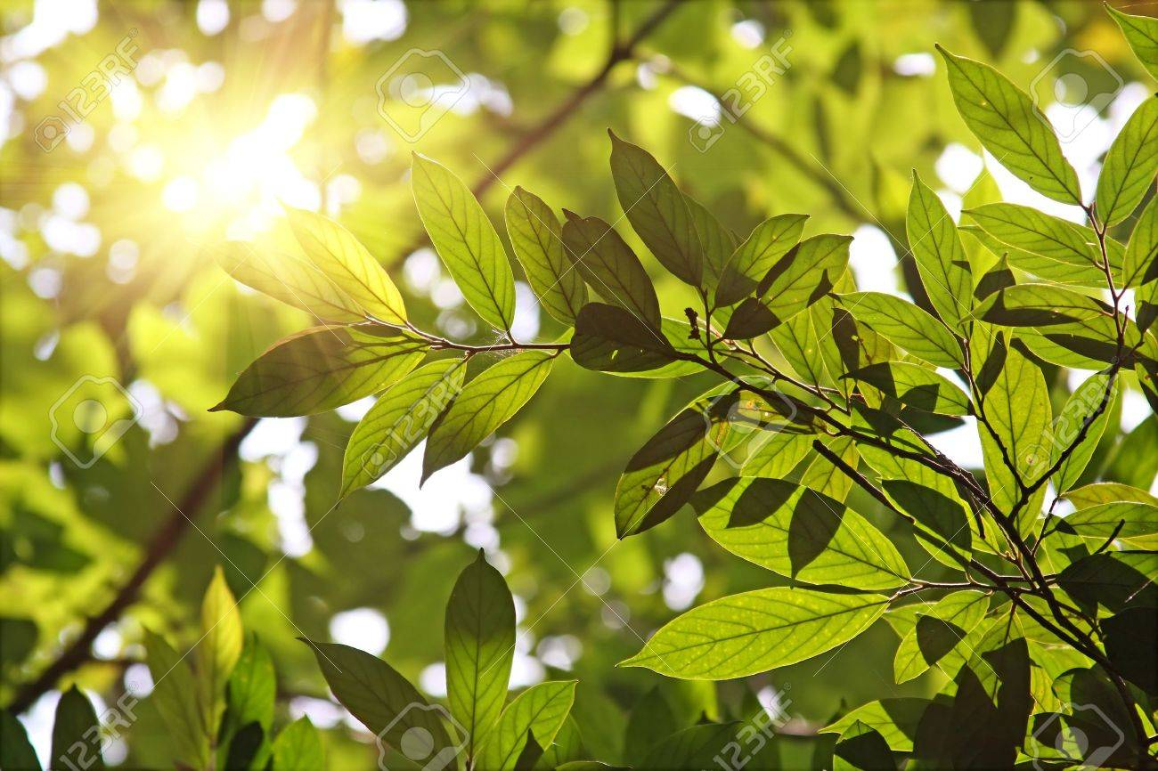 Morning sun shines through fresh leaves - 7176244