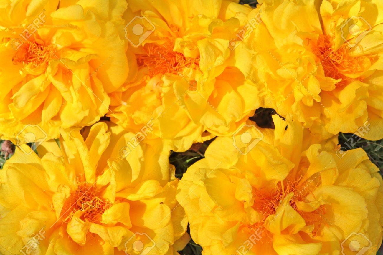 full frame background of yellow exotic flowers cochlospermum, Natural flower