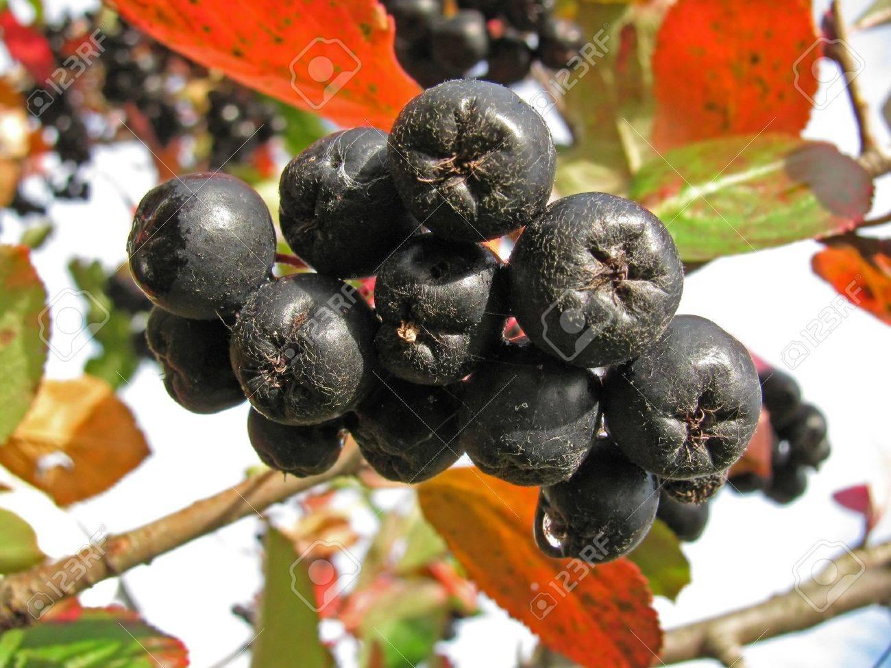 Branch of black chokeberry (Aronia melanocarpa) - 7788672
