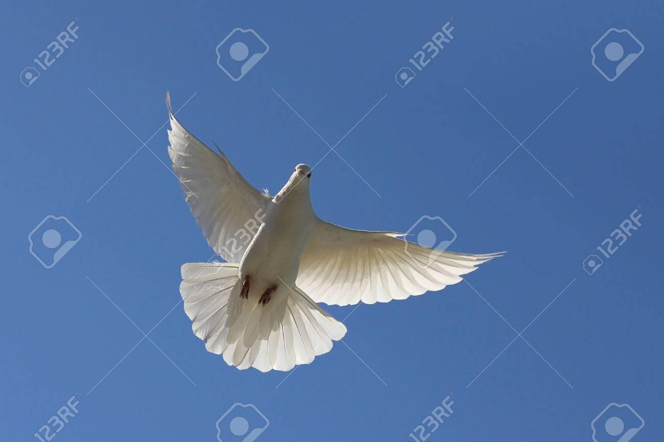青空の背景に無料の空飛ぶ白い鳩 の写真素材 画像素材 Image 39370938