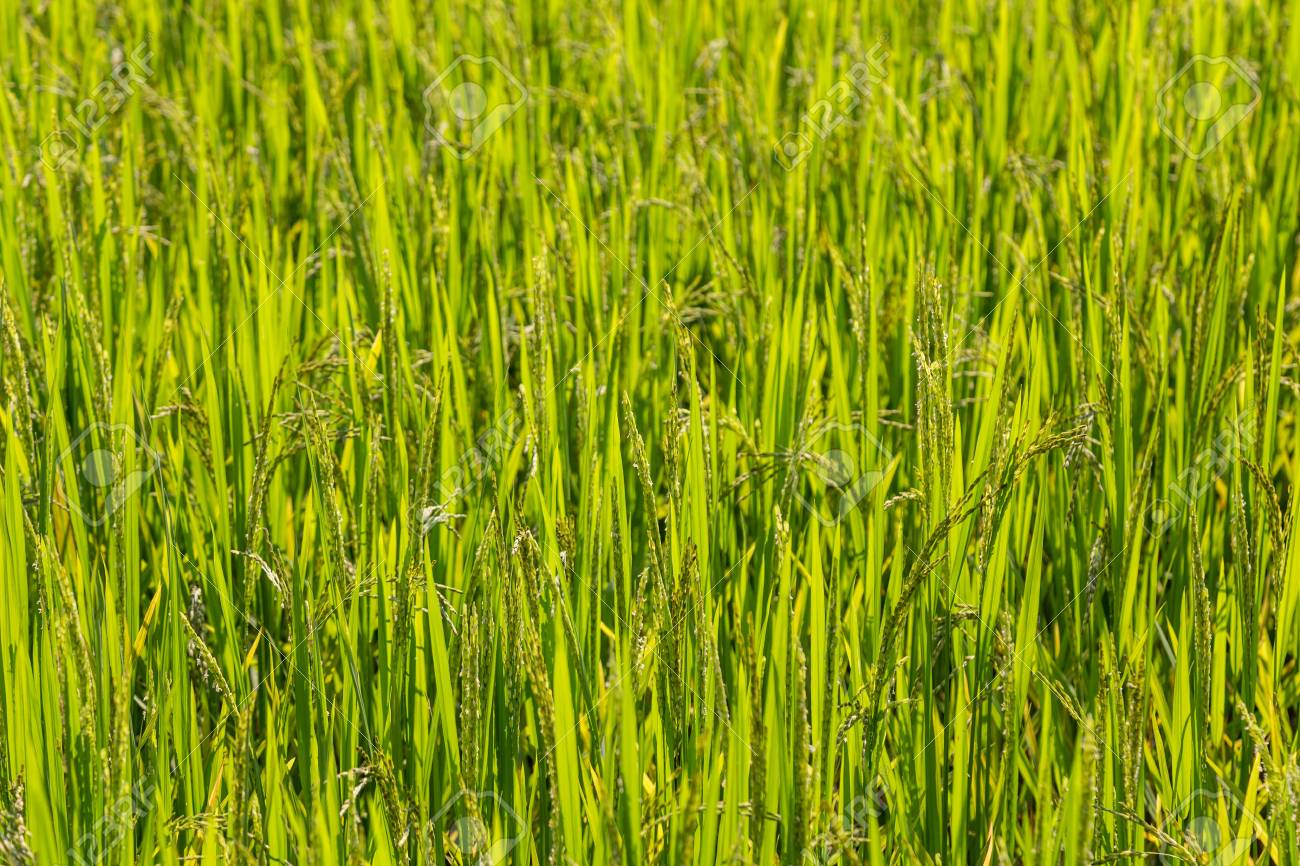 Full frame backgound of rice ripening in a paddy. Shallow depth of field - 115409173