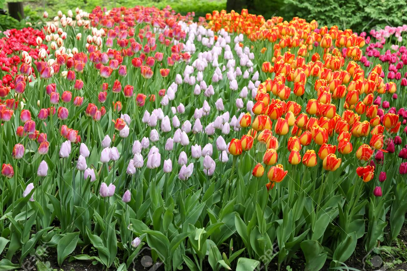 Spring flowers in a garden. Multicolored tulips - 115409174