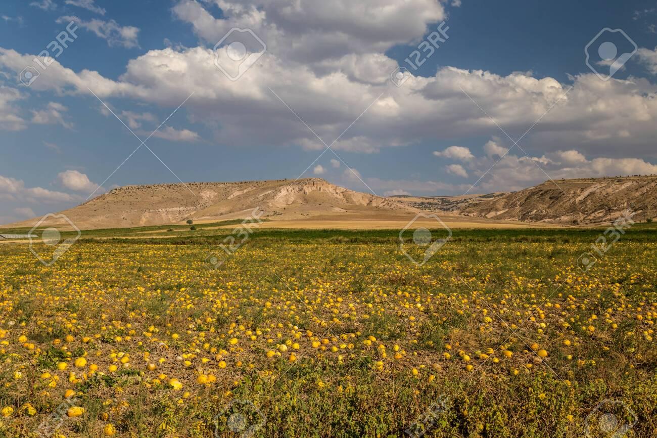 Pumpkins ripening in a field - 115409181