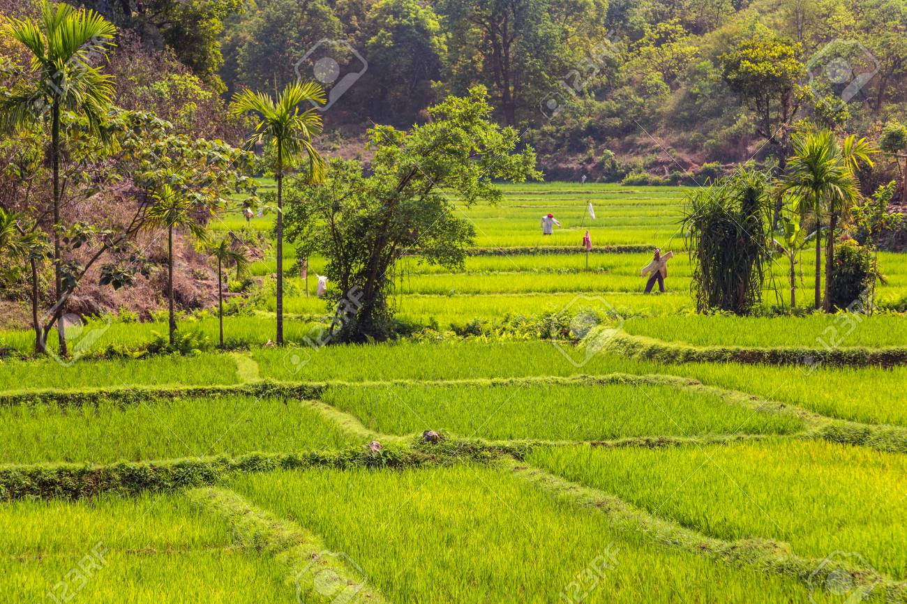 Green rice fields with scarecrows. Goa, India - 115409291