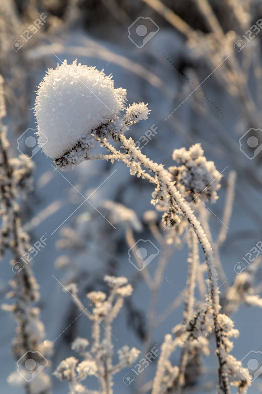 Dry plants covered with hoarfrost shining in the sun. Winter background - 115409349