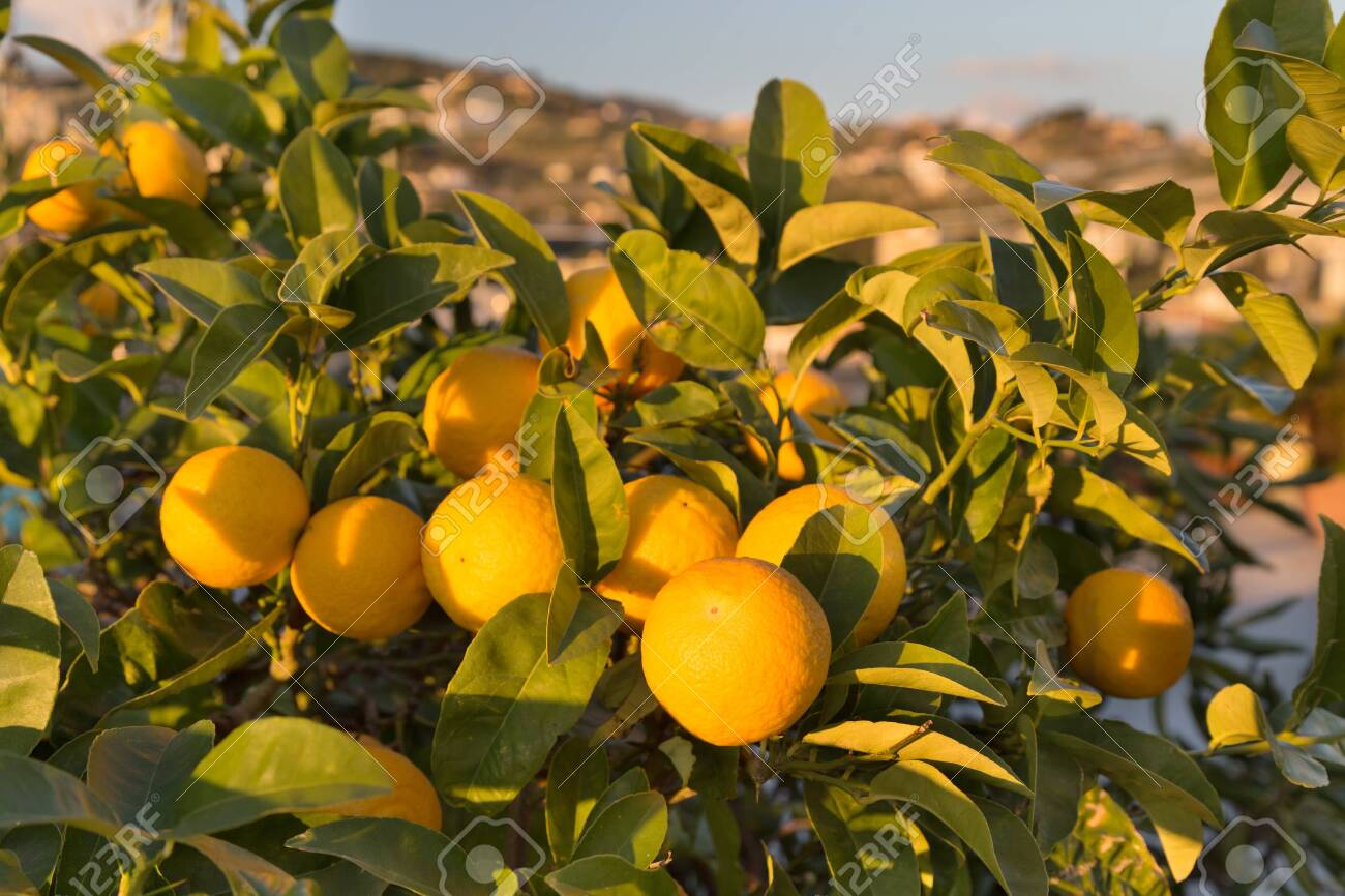 Ripe oranges on a tree. Sunny day in Italy - 115409464