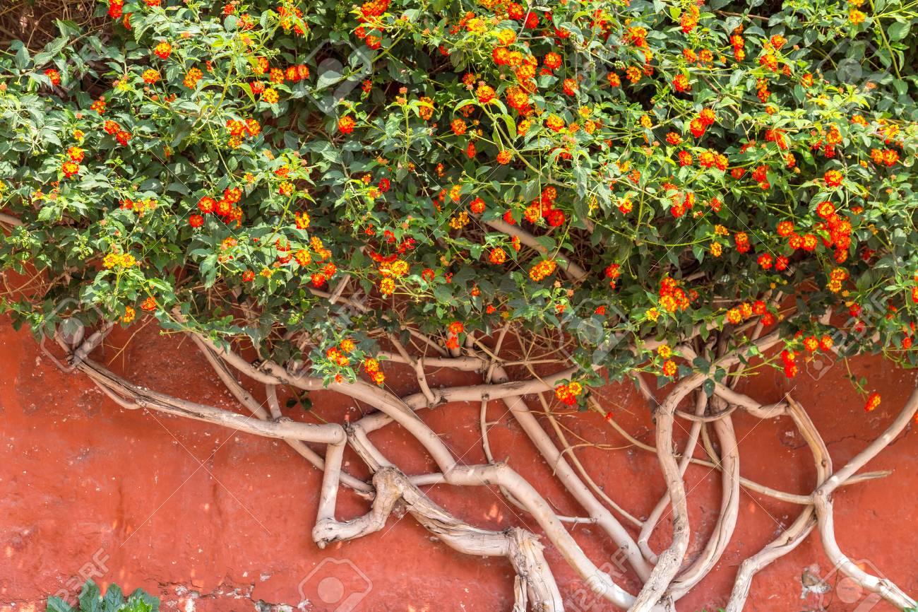 Bush of lantana flowers against a wall - 115409668