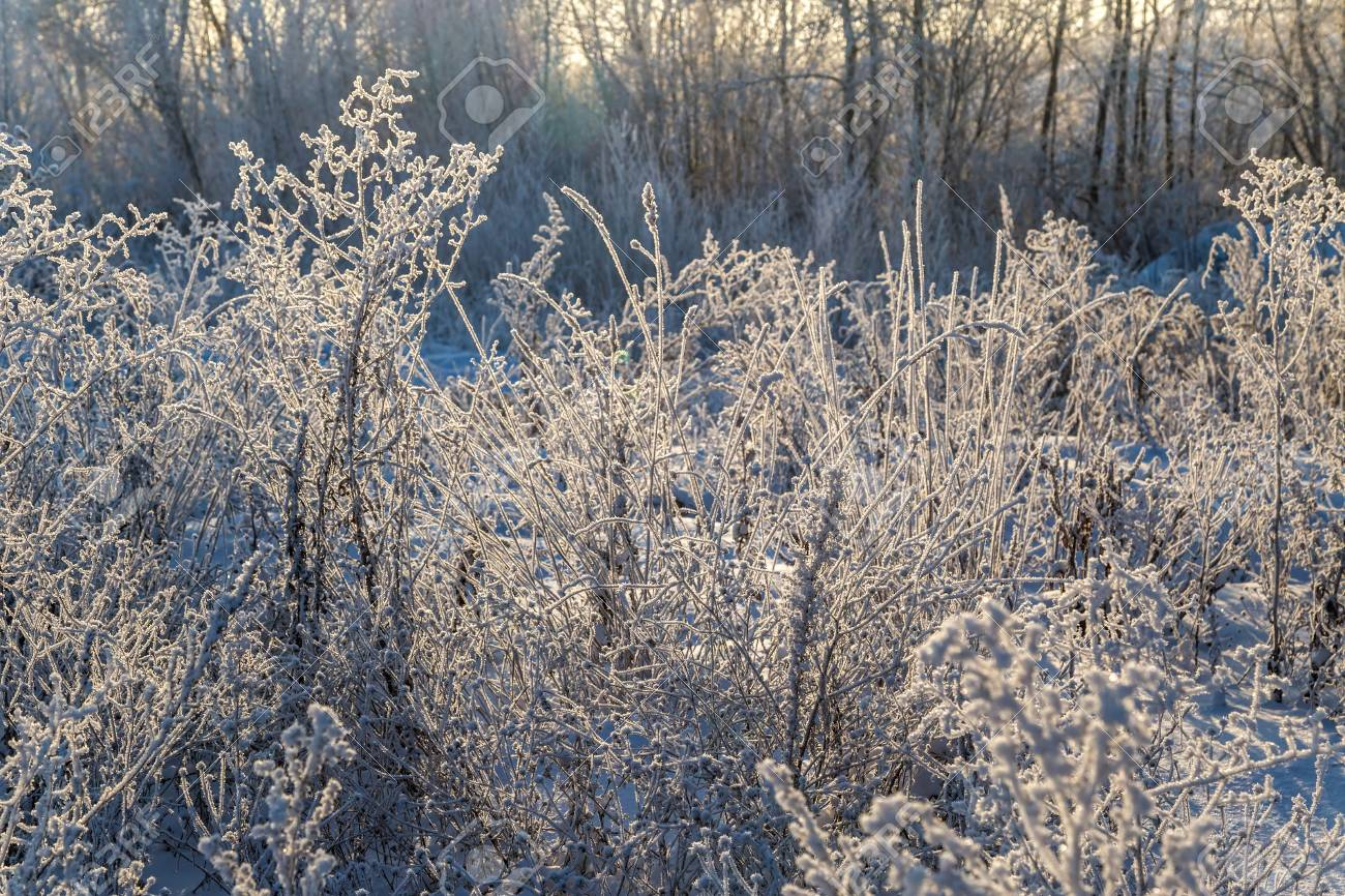 Dry plants covered with hoarfrost shining in the sun. Winter background - 115409684