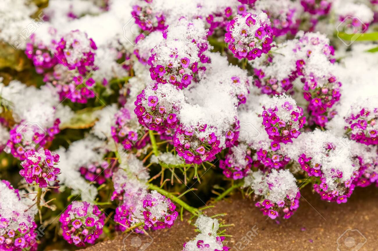 Small pink flowers under the fresh snow - 115410241