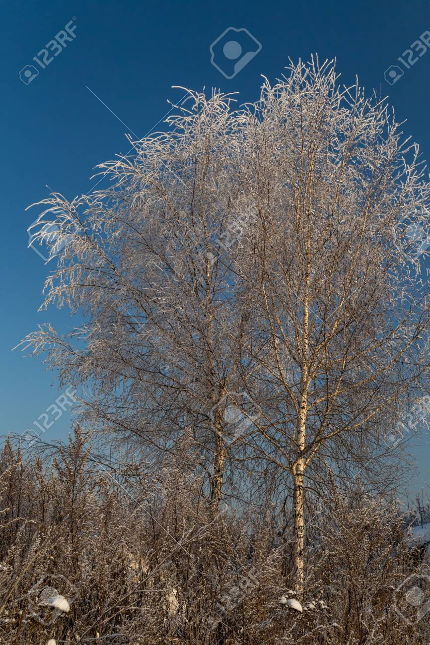 Trees covered with hoarfrost on a sunny winter day - 115410245
