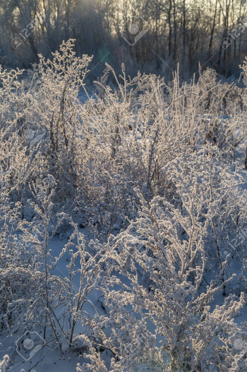 Dry plants covered with hoarfrost shining in the sun. Winter background - 115410250