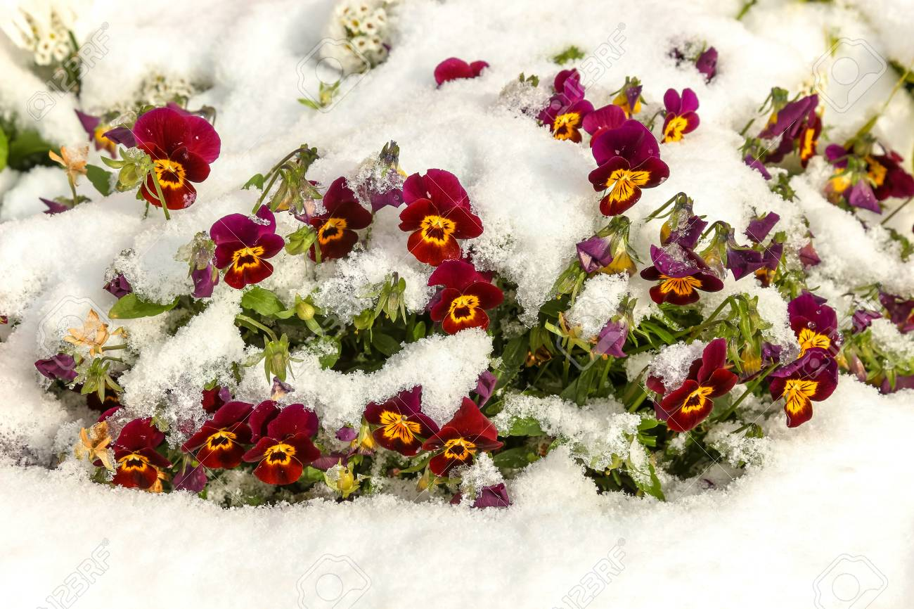 Purple and yellow viola flowers under the fresh snow - 115410255