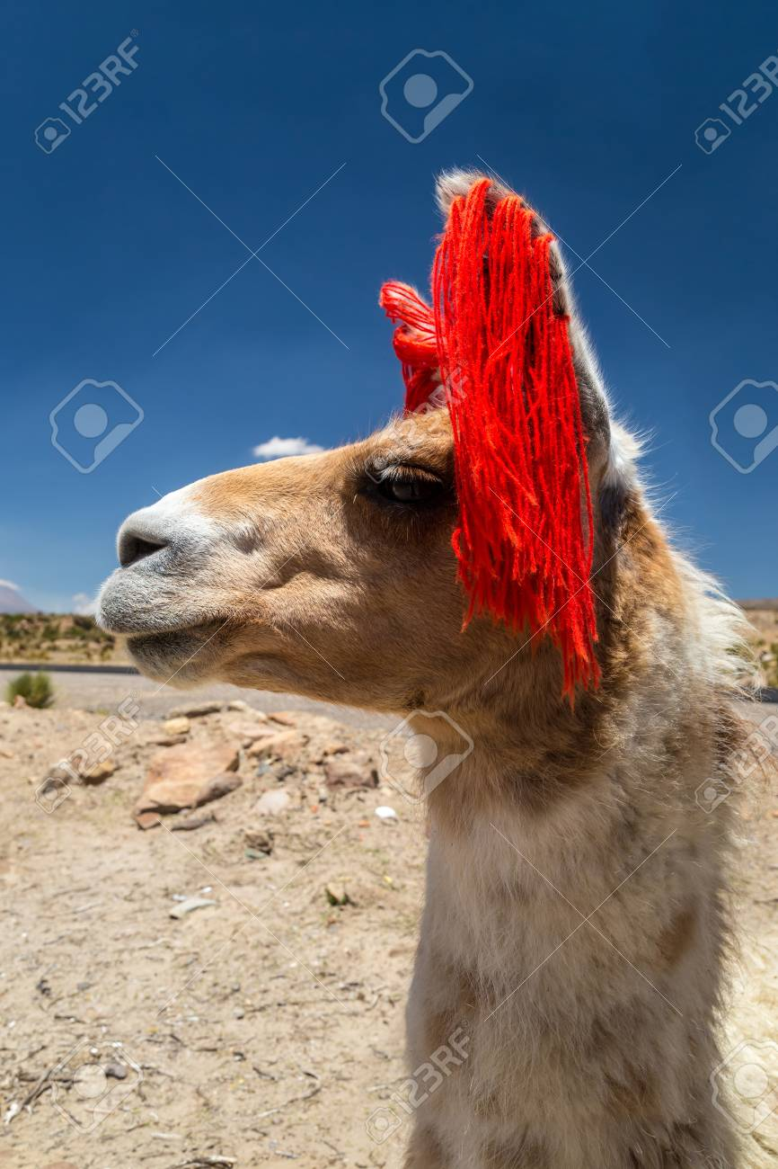 Lama wandering in a pasture - 115410317