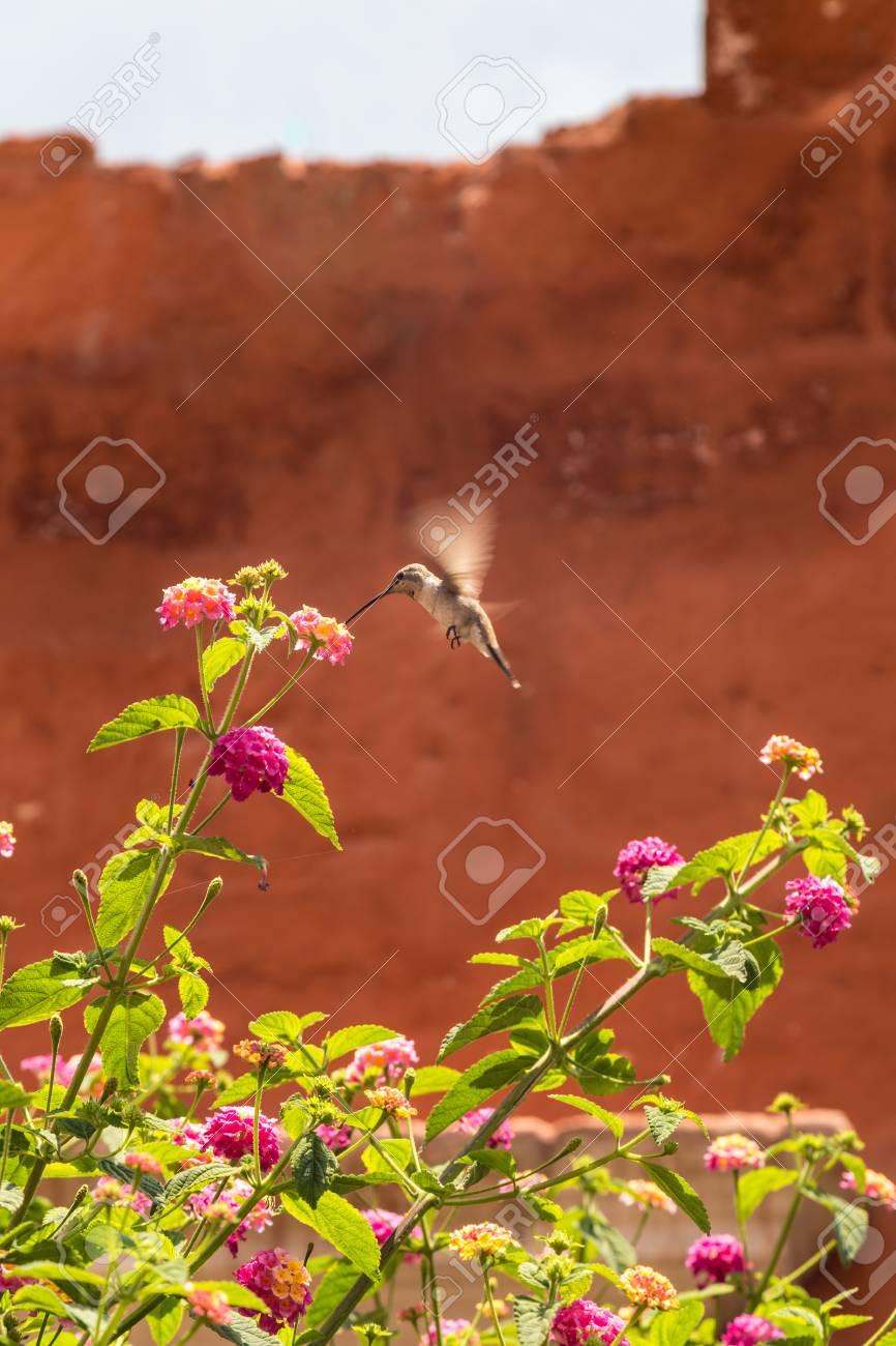 Giant Hummingbird (Patagona gigas) feeding on lantana flowers - 115410324