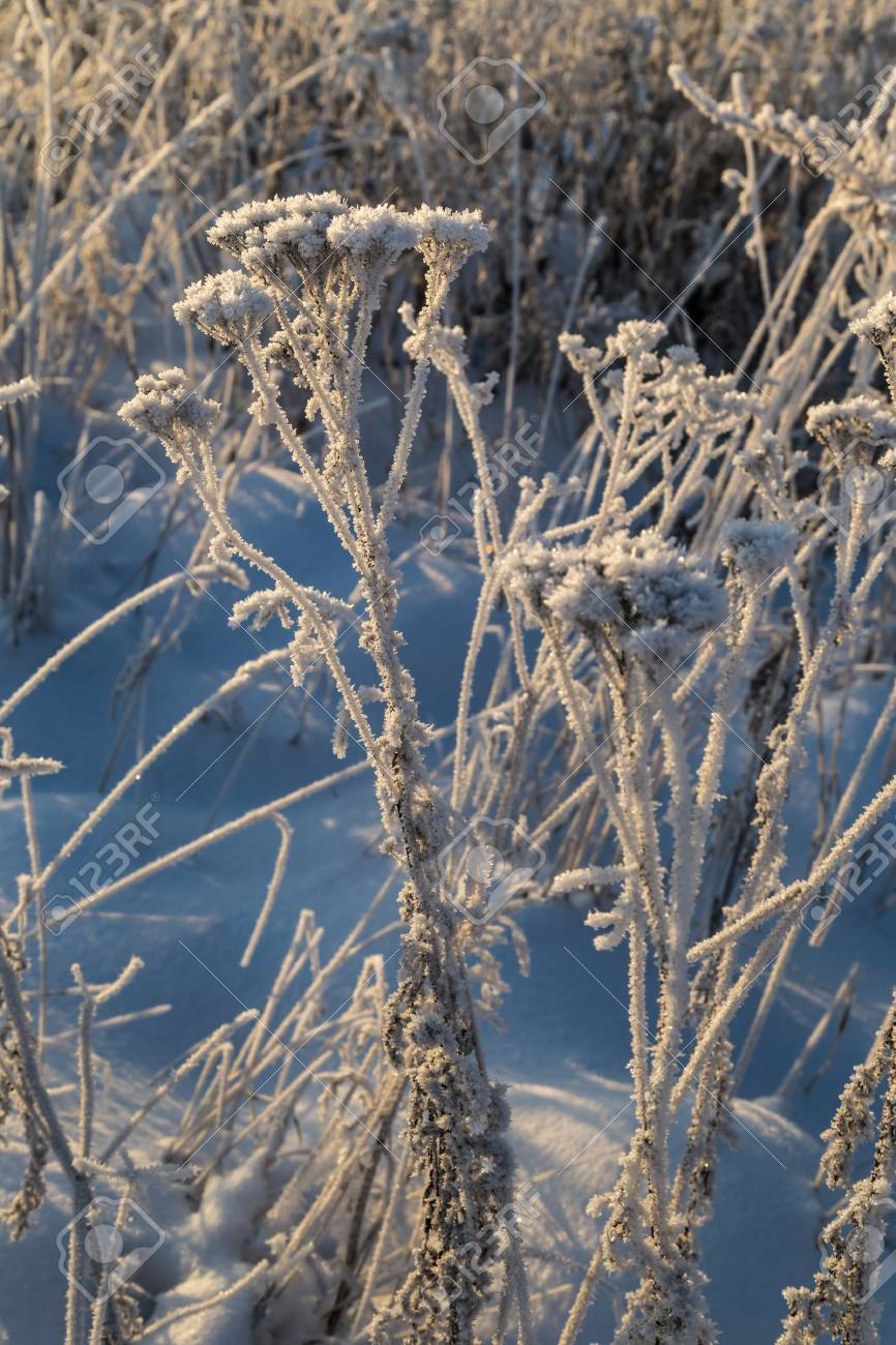 Dry plants covered with hoarfrost shining in the sun. Winter background - 115410361