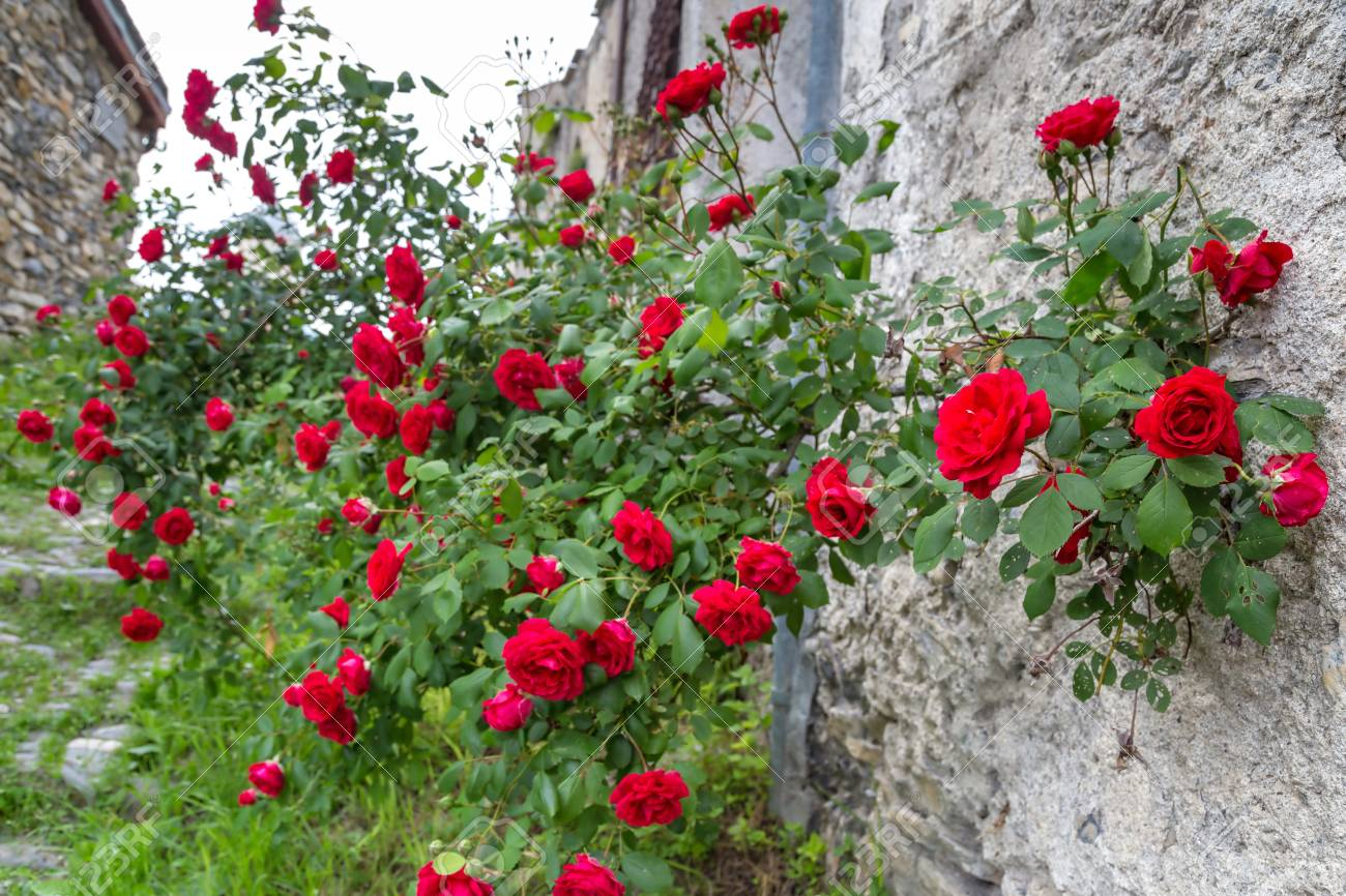 Red roses in a garden - 115410365