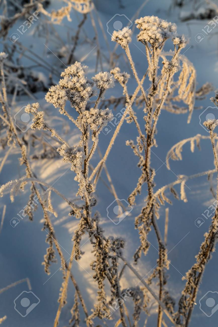Dry plants covered with hoarfrost shining in the sun. Winter background - 115410386