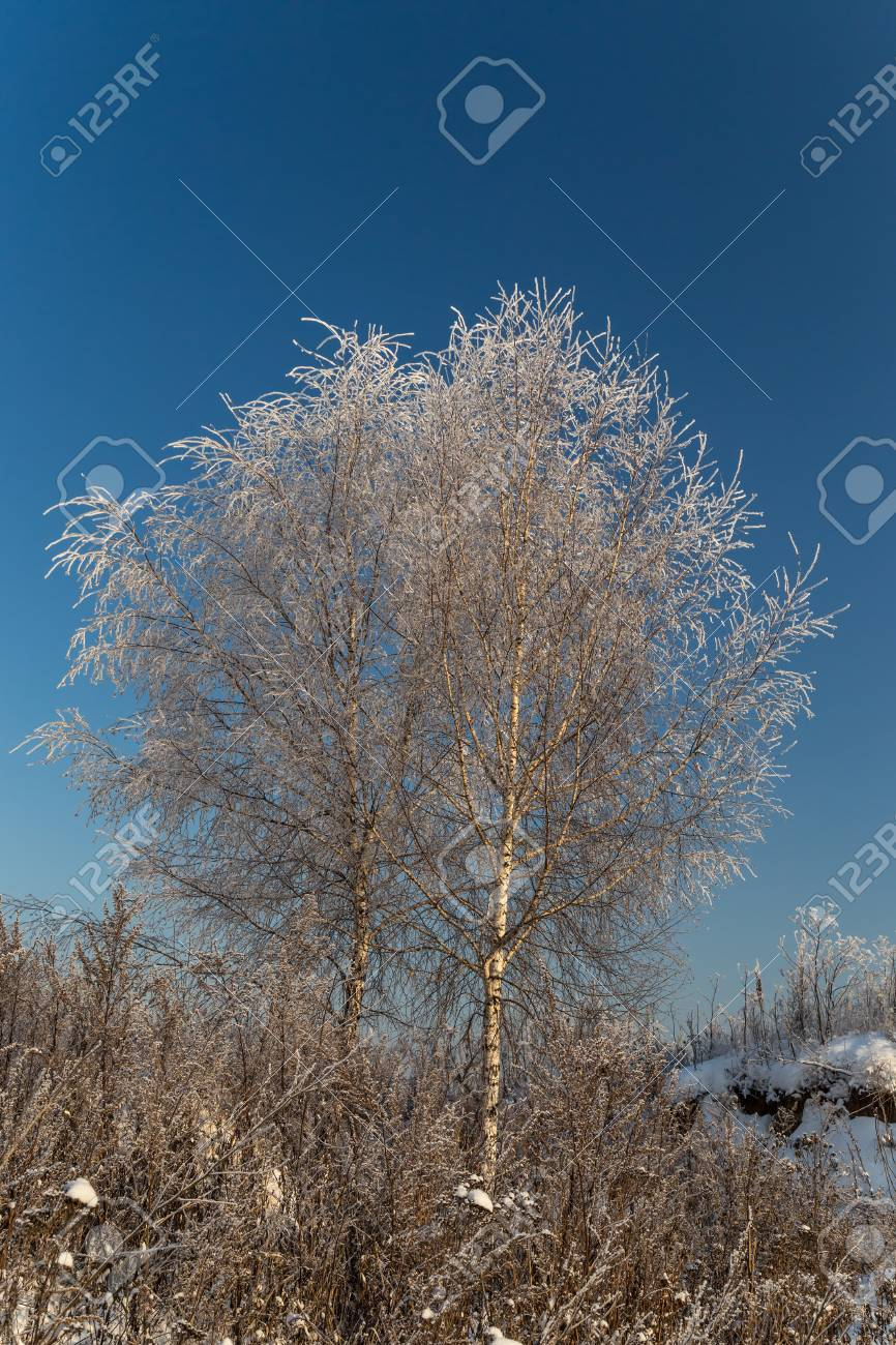 Trees covered with hoarfrost on a sunny winter day - 115410396