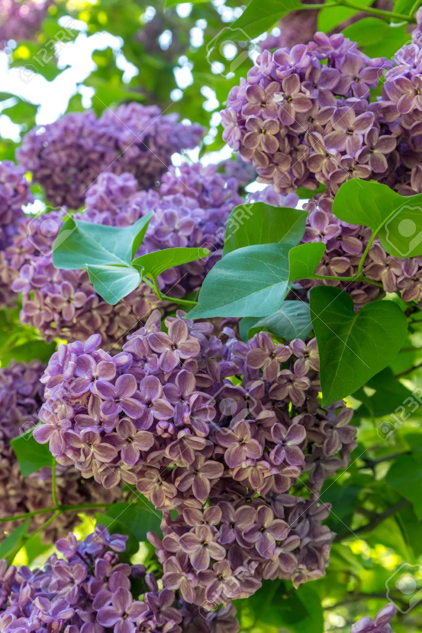 Blooming lilac in a garden - 115410402